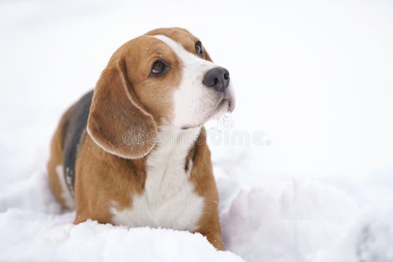 Stående för vinter för beaglehund utomhus- med copyspace fotografering för bildbyråer