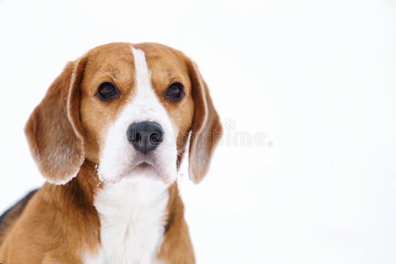 Stående för vinter för beaglehund utomhus- med copyspace arkivfoton