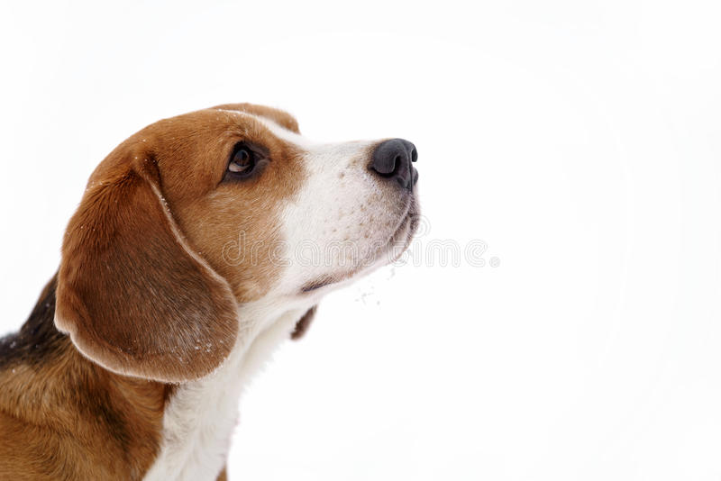 Stående för vinter för beaglehund utomhus- med copyspace arkivfoto