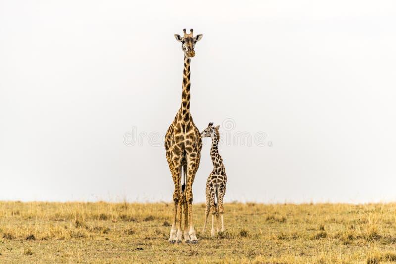 Stående högväxt - Massai giraffmoder & nyfödd kalv i grässlättar av Massai Mara National Reserve, Kenya arkivbild