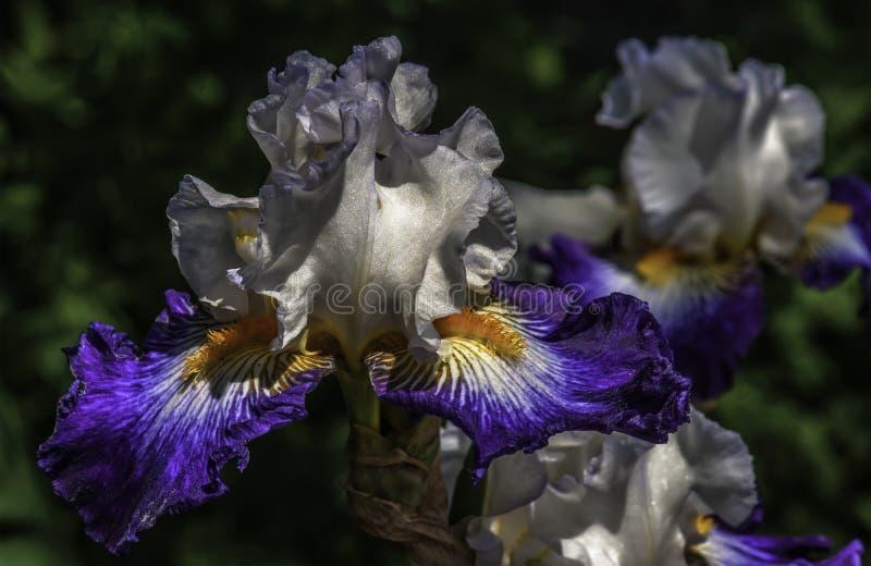 Stående i lilor och vit arkivbild