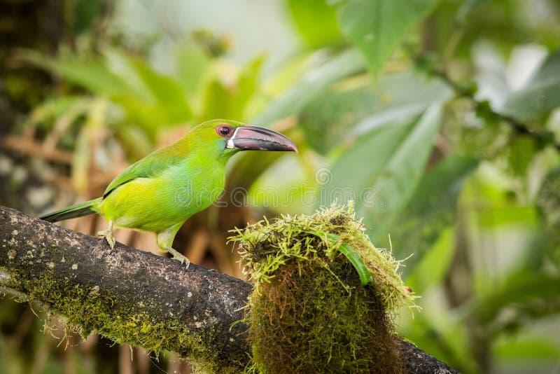 Stående karmosinröda-rumped Toucanet arkivfoton