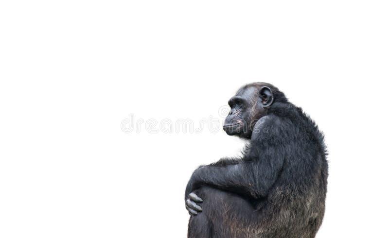 Stående, sammanträde och stirra för schimpans ensam på horisonten i ett eftertänksamt tänkande sätt och som isolerar på en vit ba arkivfoto