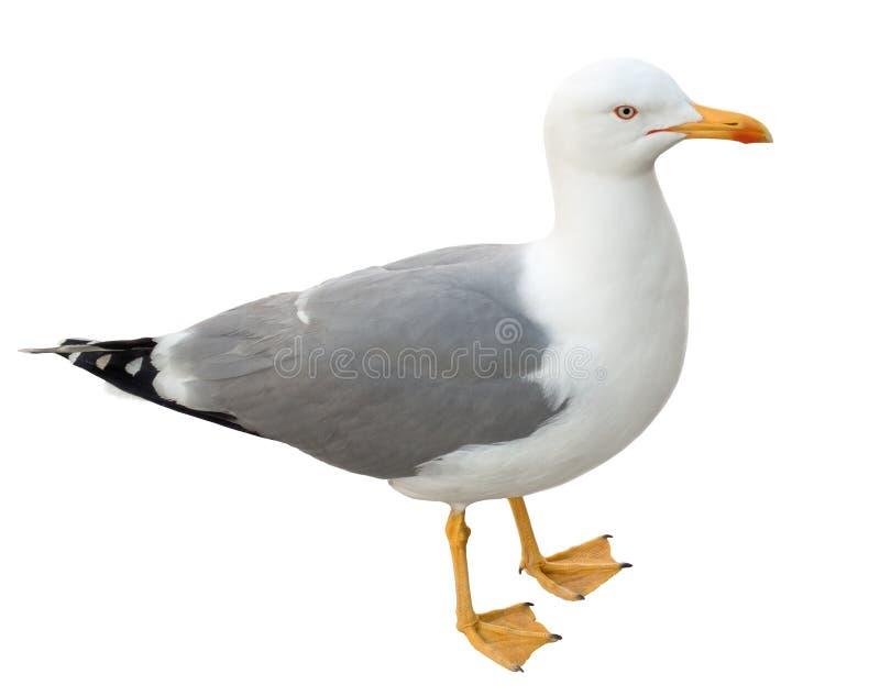 Stående seagull som isoleras på vit royaltyfri foto