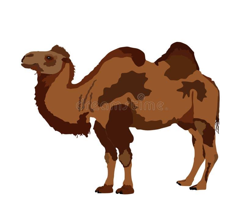 Stående vektor för Bactrian kamel som isoleras på vit Kamelvektorillustration vektor illustrationer