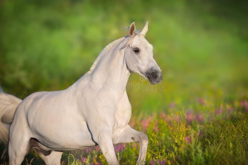 Ståendekörning för vit häst arkivfoto