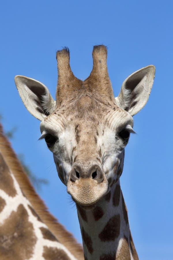 StåendekvinnligBaringo giraff, Giraffacamelopardalis Rothschild arkivbild