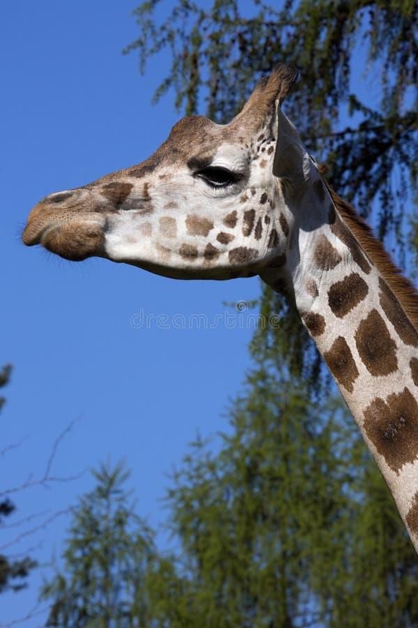 StåendekvinnligBaringo giraff, Giraffacamelopardalis Rothschild royaltyfria foton