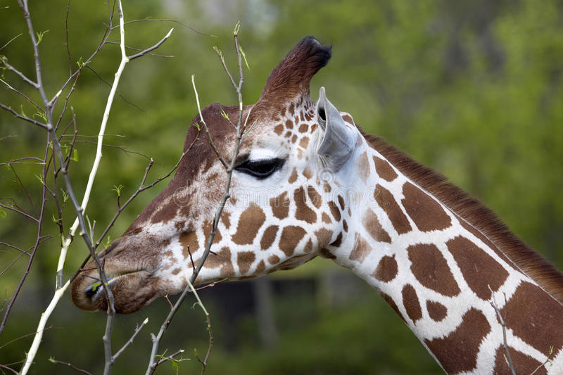 StåendekvinnligBaringo giraff, Giraffacamelopardalis Rothschild arkivfoto