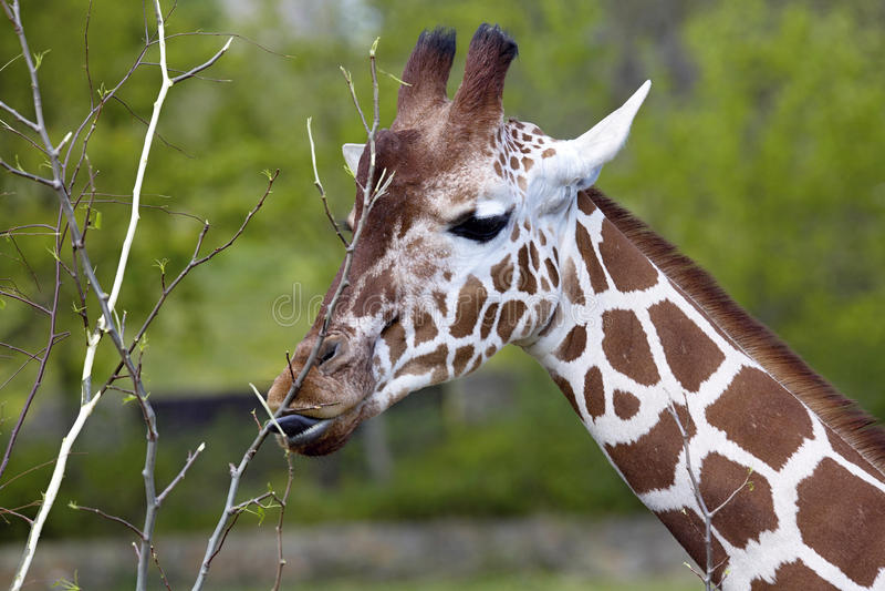 StåendekvinnligBaringo giraff, Giraffacamelopardalis Rothschild royaltyfri bild