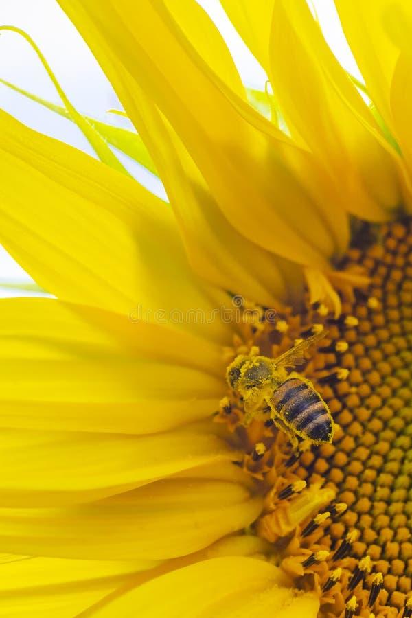 Ståendemakrosikt av honungsamlingsprocessen, bi som pollinerar den härliga solrosen med himmel på bakgrunden royaltyfria foton