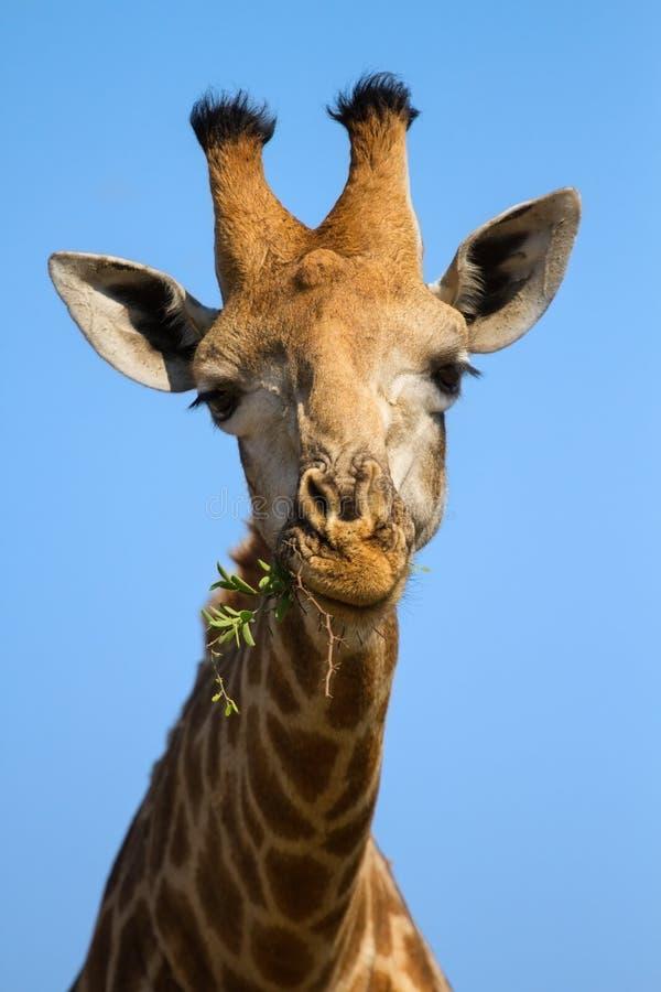 Ståendenärbild av giraffhuvudet mot en tuggning för blå himmel fotografering för bildbyråer