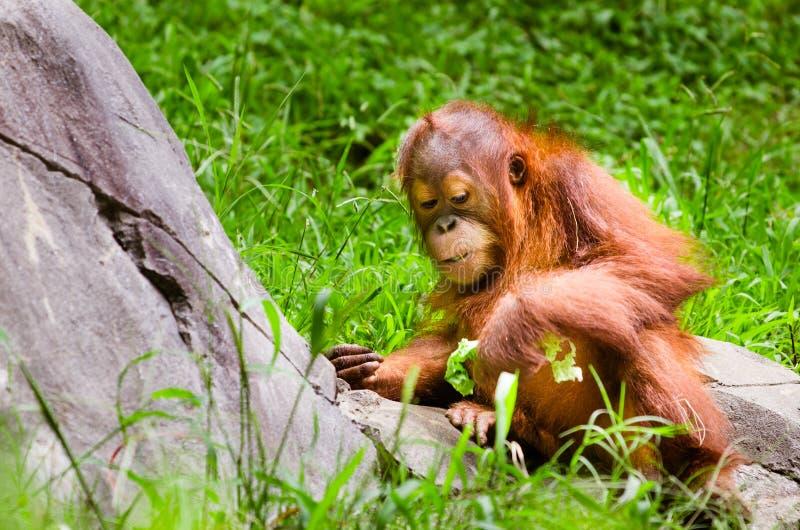 Ståenden av behandla som ett barn orangutanget arkivfoton
