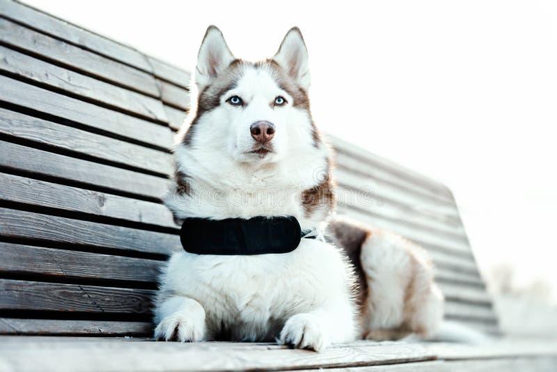 Ståenden av den blått synade härliga Siberian skrovliga hunden på går royaltyfria foton