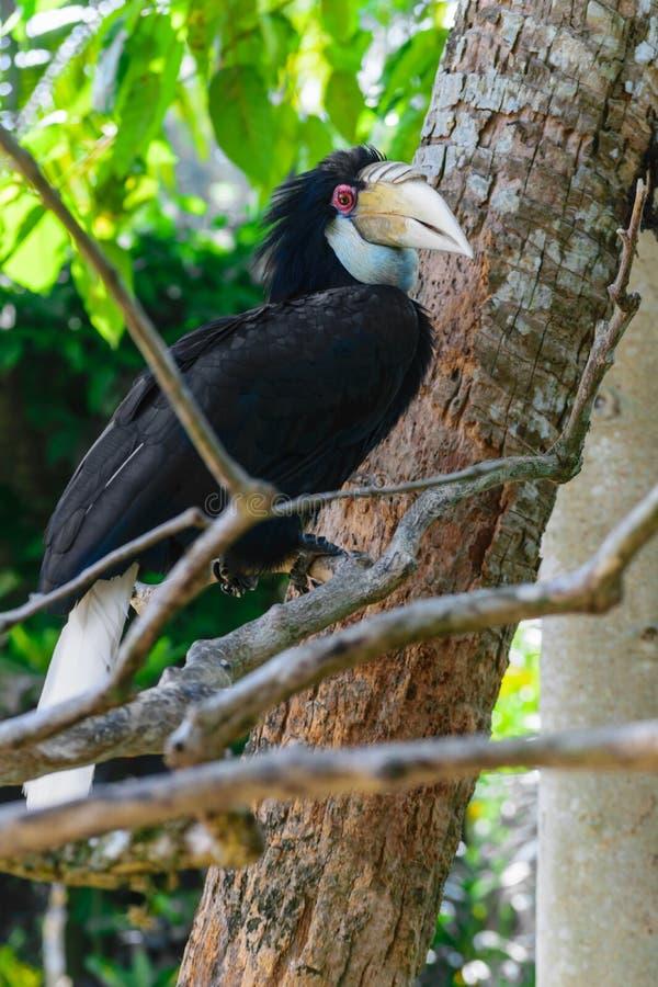 Ståenden av den färgrika kvinnlign virvlade hornbillfågeln som sitter på filialen i rainforest arkivfoton