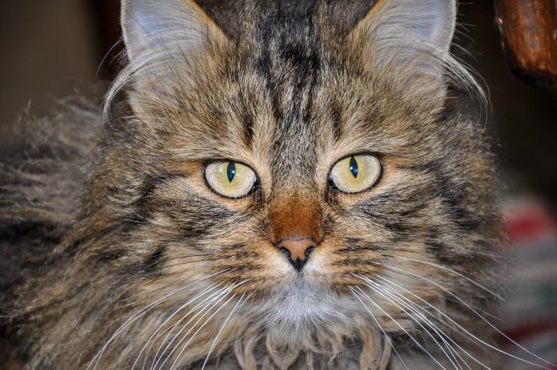 Ståenden av den fluffiga strimmig kattkatten med härlig guling-gräsplan synar royaltyfria foton