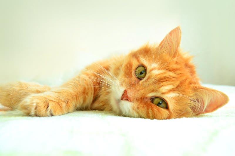 Ståenden av den röda katten royaltyfri fotografi