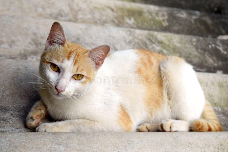 Ståenden av den thailändska katten sover på taktegelplattan, Thailand royaltyfria bilder