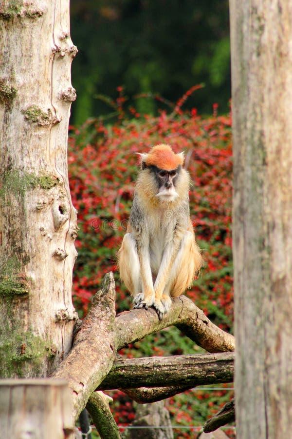 Ståenden av en apa är sitta, vila och posera på filial av trädet i trädgård Den Patas apan är typ av primat arkivbild