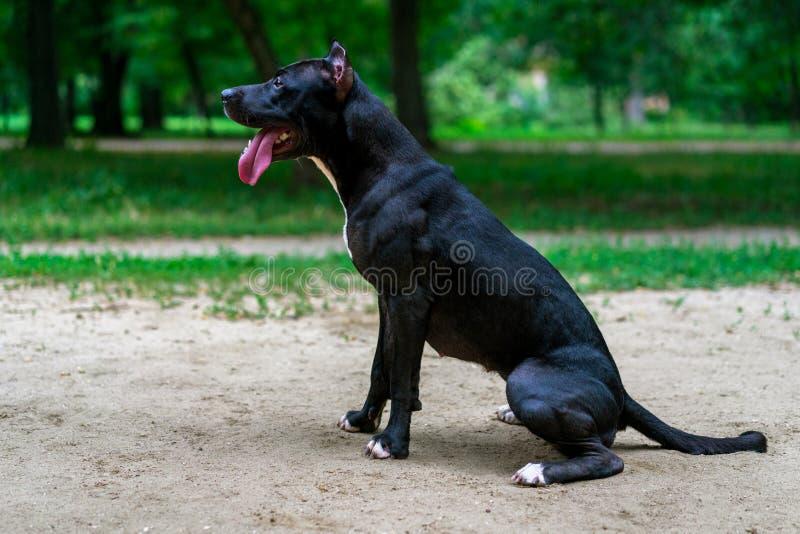 Ståenden av en bull terrier för svartvit amerikansk grop sittande ismiles med tungan i parkerar arkivfoto