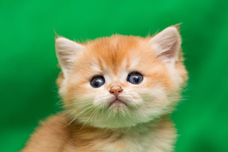 Ståenden av en charmig liten guld- brittisk kattungenärbild, kattungen ser in i kameran royaltyfri bild