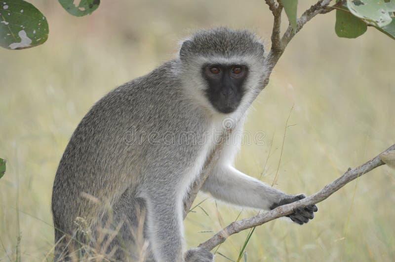 Ståenden av en Chlorocebus för vervetapan pygerythrus eller enkelt vervet, är en apa för gammal värld royaltyfri foto