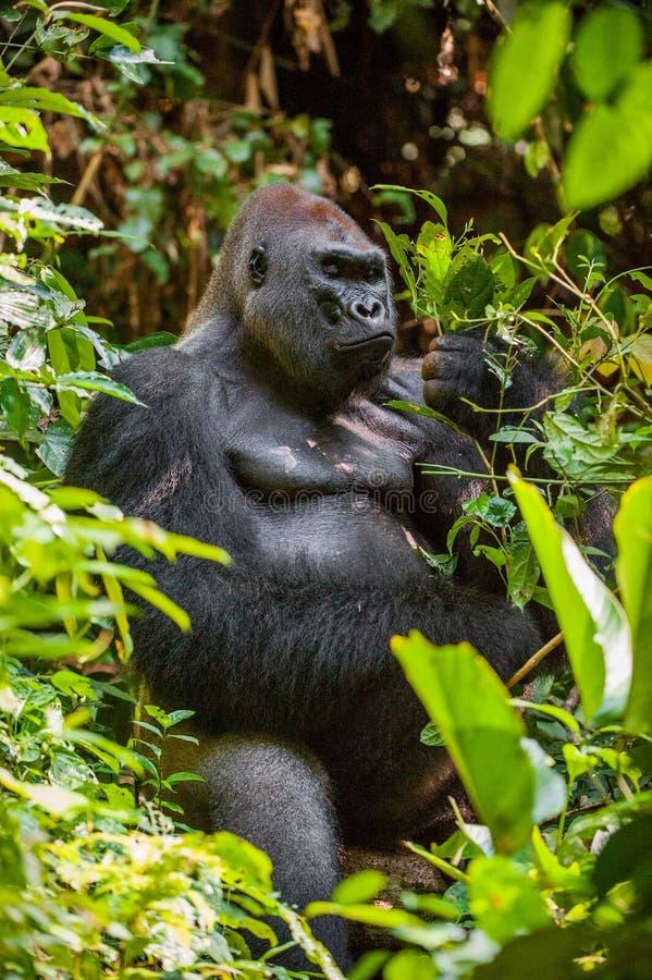 Ståenden av en gorilla för västra lågland (gorillagorillagorilla) stänger sig upp royaltyfri foto