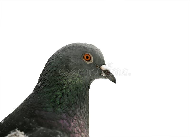 Ståenden av en grå fågel dök närbild på vit isolerad backgrou royaltyfri foto
