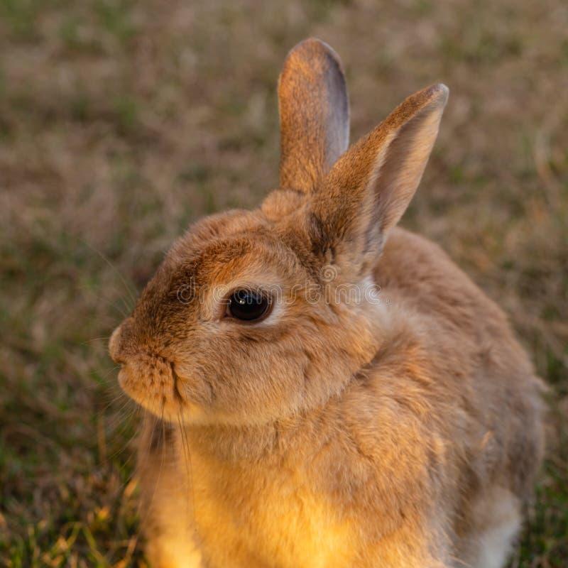 Ståenden av en guld- brun kanin framdel-tände vid ottasolen arkivfoton