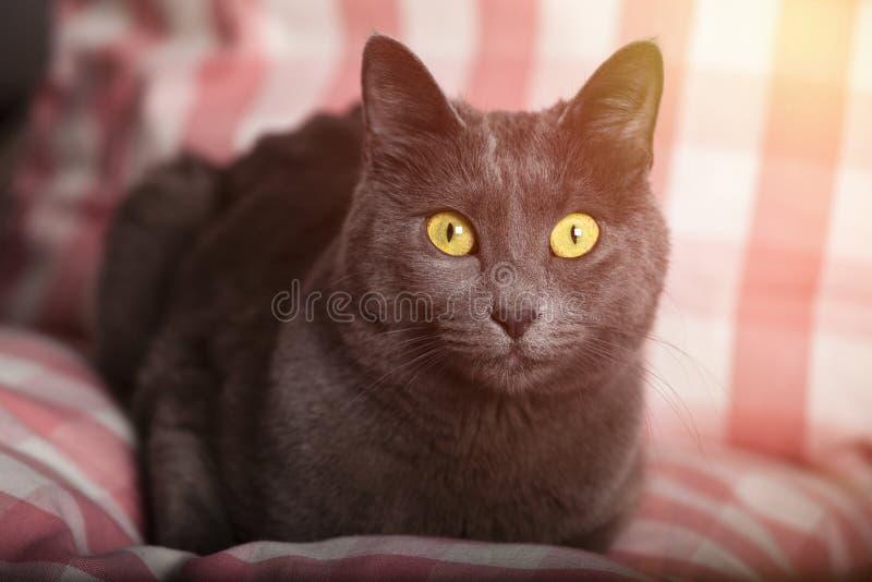 Ståenden av en kvinnlig blå rysskattguling synar/den carthusian katten royaltyfri foto