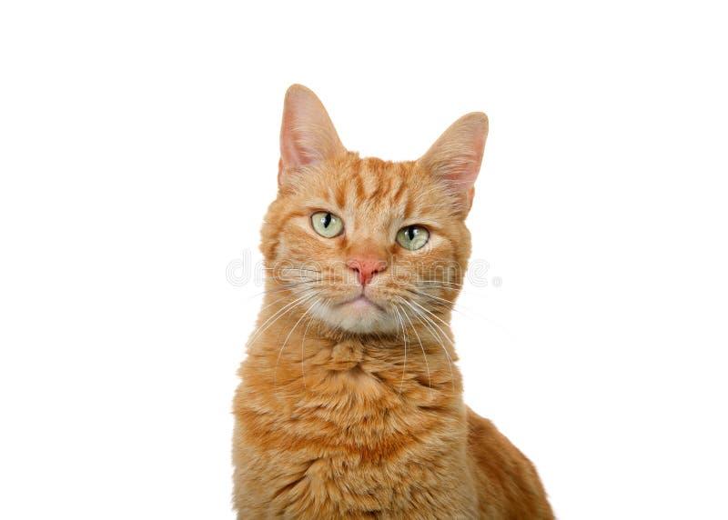 Ståenden av en ljust rödbrun katt för orange strimmig katt isolerade arkivfoto