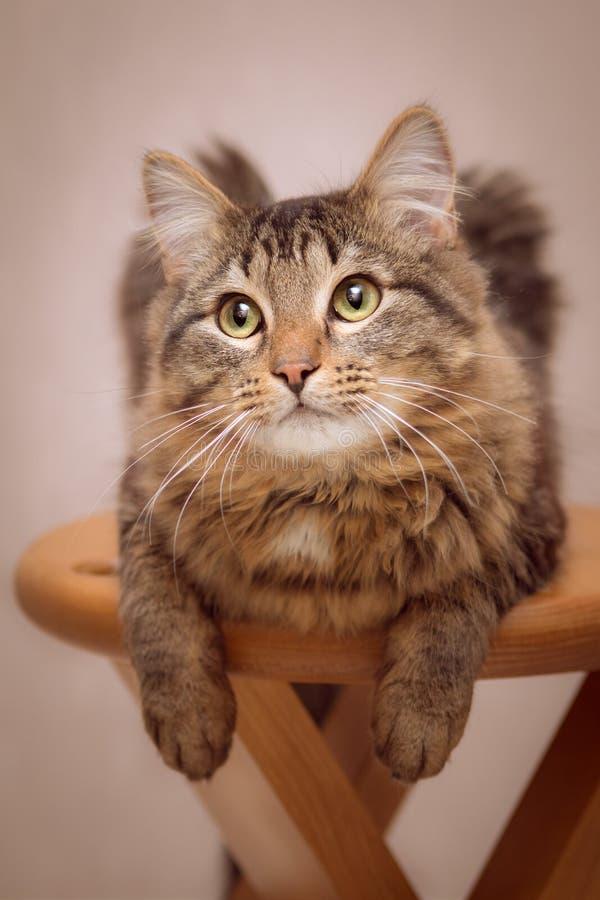 Ståenden av en randig katt, som ligger på en stol och att dingla tafsar och en svans royaltyfri foto