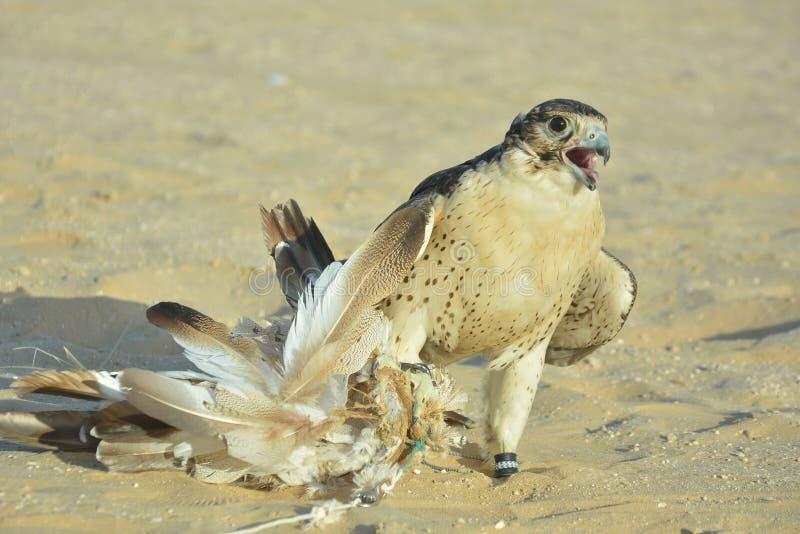 Ståenden av en tämjd ökenfalk catched lockfågeln royaltyfri foto
