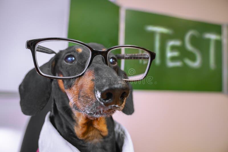 Ståenden av en taxhund, svart och solbränt, en lärare i exponeringsglas tar en examen, på bakgrunden av svart tavla med inscren royaltyfri bild
