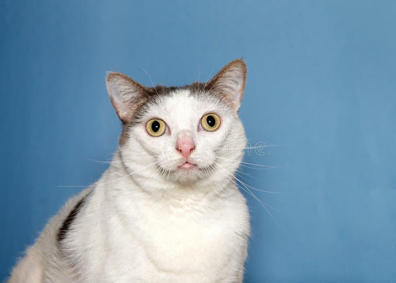 Ståenden av en vit katt med svart lappar att se direkt på tittaren arkivfoton