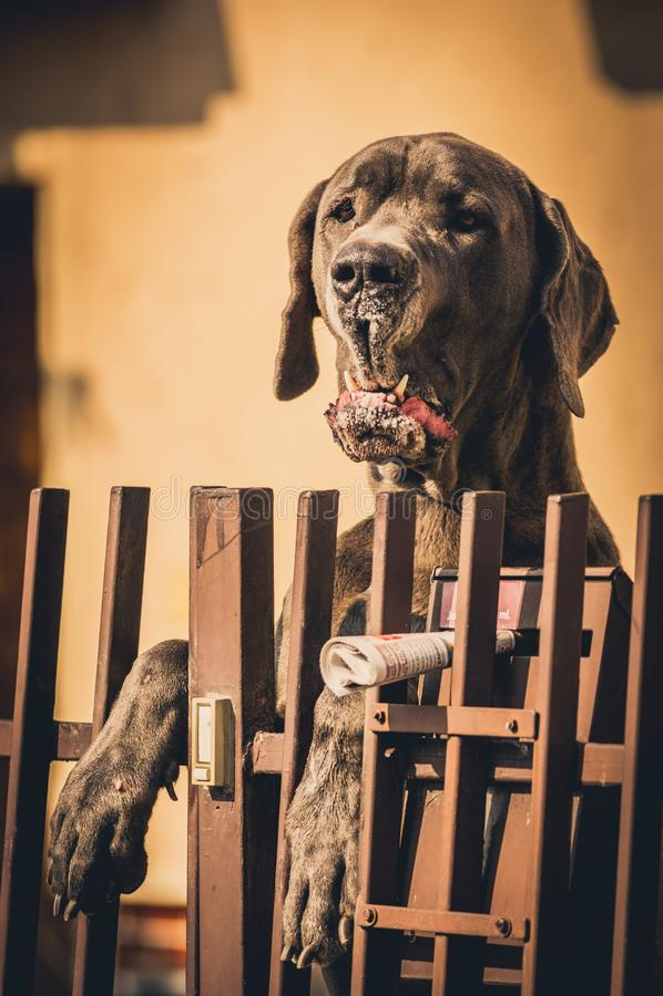 Ståenden av Great dane, en av den största hunden föder upp arkivbild