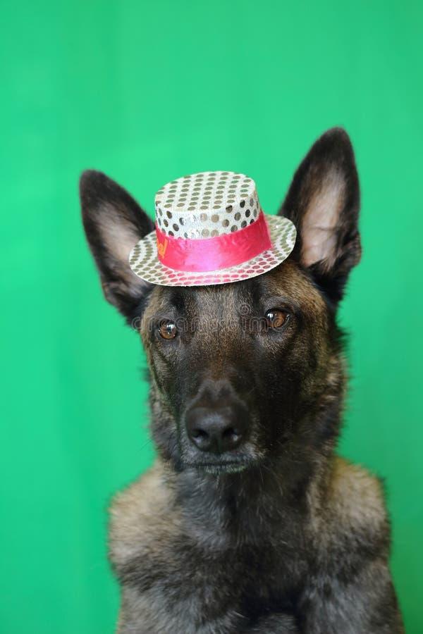 Ståenden av Malinois en belgisk herdehund med en mjuk blick som bär en rosa färg och vit, försilvrar hatten på en grön bakgrund arkivfoton