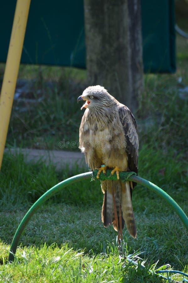 Ståenden av Peregrine Falcon, Falco Peregrinus In Cabarceno Natural parkerar den gamla minen för extraktion av järn Augusti 25, 2 arkivfoton