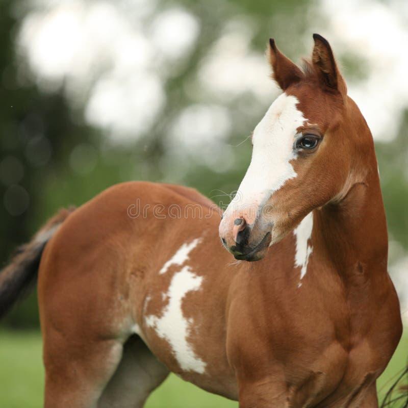 Ståenden av trevligt målar hästen som ungstoen med blått synar arkivbild