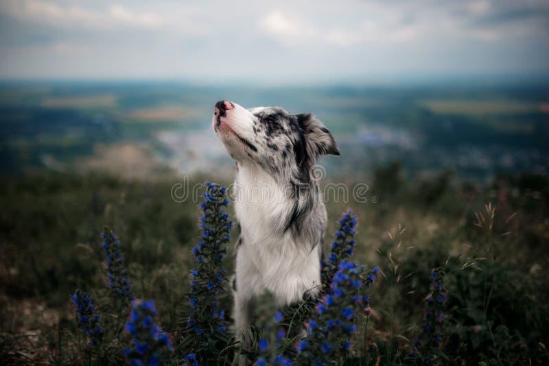 Ståenden vita border collie sitter på bergen i blommor royaltyfri foto