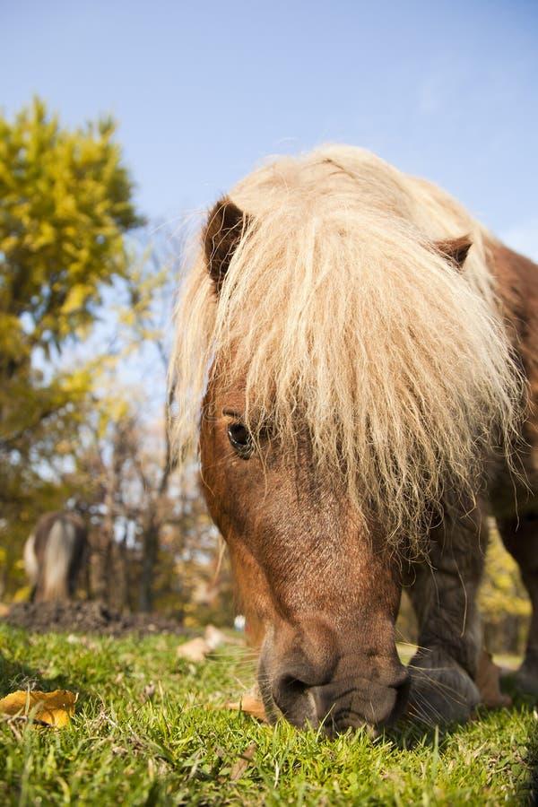 Download Ståendeponny som äter gräs arkivfoto. Bild av mare, ponnyer - 27288108