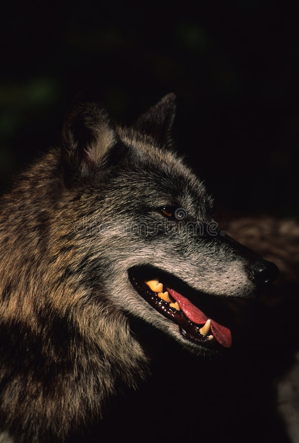 ståendewolf royaltyfri bild