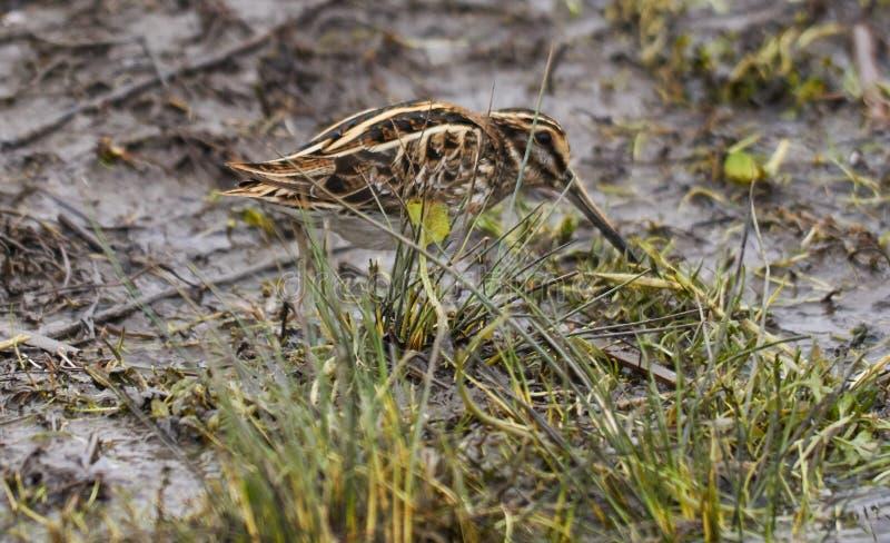 Stålarbeckasin eller den Lymnocryptes minimusen är en utvandrande waterbird arkivbild