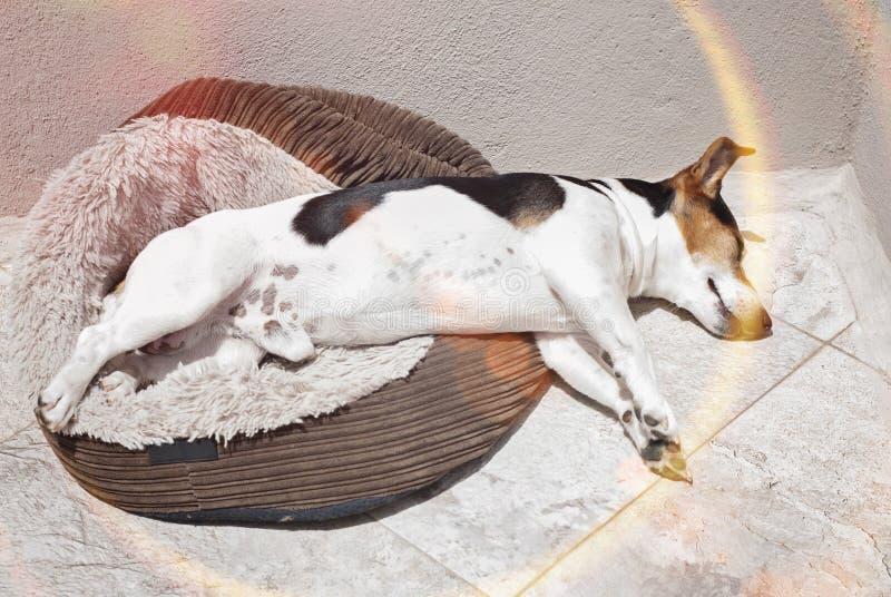 Stålarrussell hund som sover i solen arkivbilder