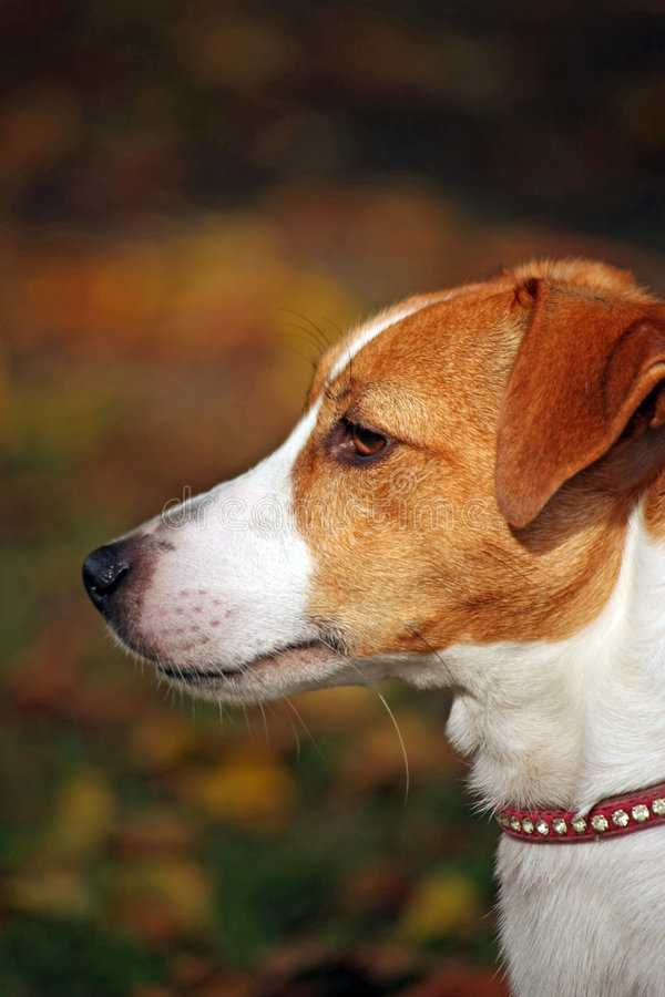 stålarrussell terrier royaltyfria bilder