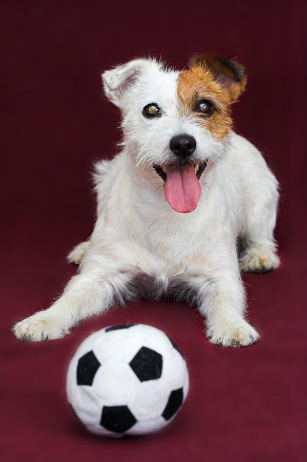 stålarrussell terrier arkivfoton