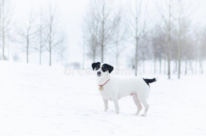 stålarrussell terrier Gå utomhus i vintern härlig closeupstående arkivfoton