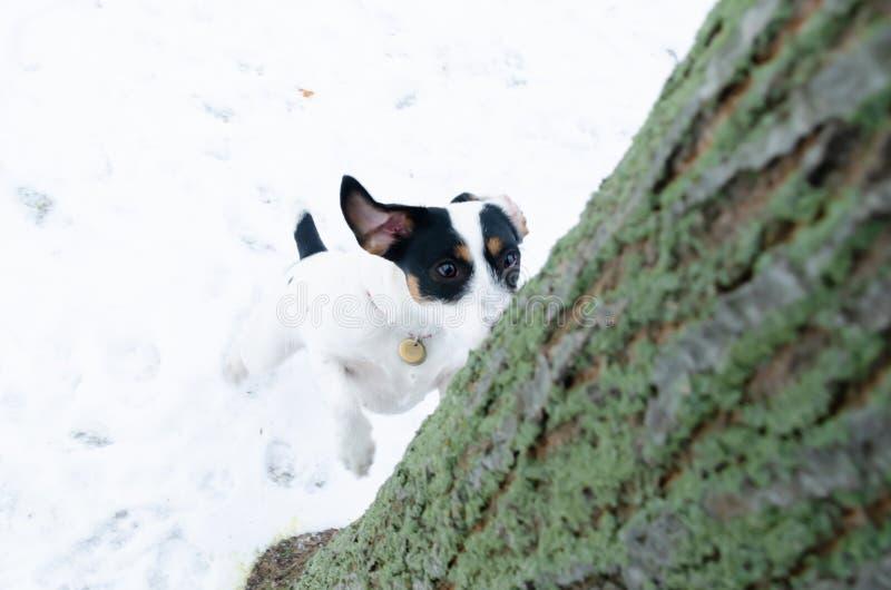 stålarrussell terrier Gå utomhus i vintern härlig closeupstående royaltyfria foton