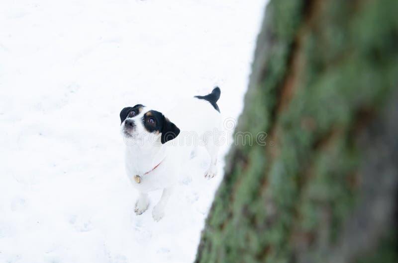 stålarrussell terrier Gå utomhus i vintern härlig closeupstående royaltyfria bilder