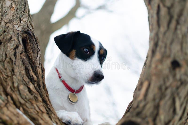 stålarrussell terrier Gå utomhus i vintern härlig closeupstående arkivfoto